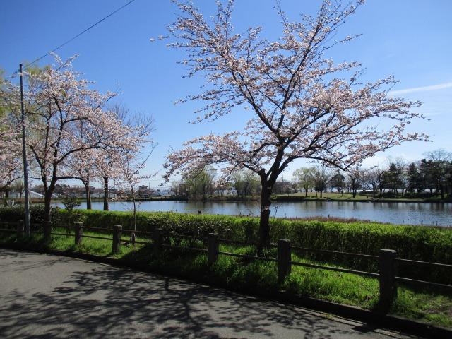 s_北山池公園と桜