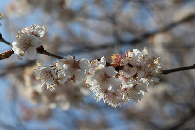 s_桜のアップ
